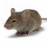 Little mouse picture