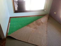 Carpet folded over to reveal how deep urine stains go