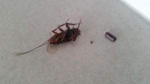 dead cockroach with egg sack