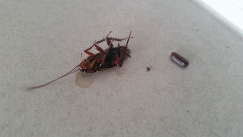 Cockroaches As Pests River City Carpet Cleaning